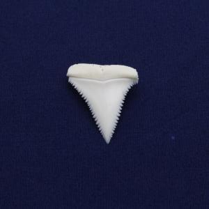 ホホジロザメの歯(Great white shark)サメの歯 標本No14|kaiyokobo