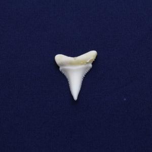ホホジロザメの歯(Great white shark)サメの歯 標本No16|kaiyokobo