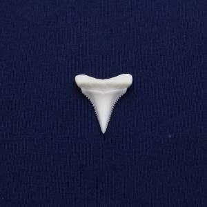 ホホジロザメの歯(Great white shark)サメの歯 標本No17|kaiyokobo