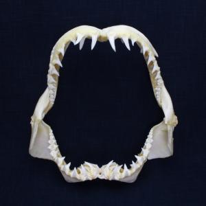 サメの顎(バケアオザメ)顎骨標本 ロングフィン・マコ・シャーク Longfin mako shark No.5 kaiyokobo
