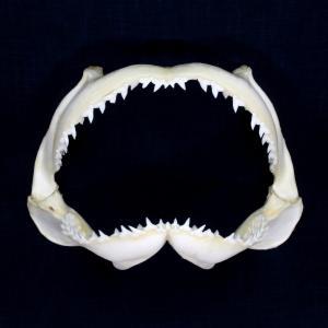 サメの顎(シロシュモクザメ)顎骨標本 スムース・ハンマーヘッド・シャーク Smooth Hammerhead Shark No.14 kaiyokobo