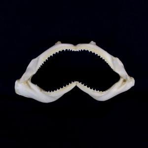 サメの顎(ハナザメ)顎骨標本 スピナーシャーク Spinner shark No.9 kaiyokobo