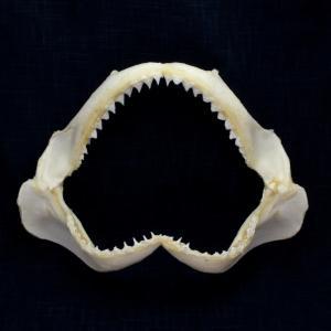 サメの顎(ヤジブカ)顎骨標本 サンドバーシャーク Sandbar Shark No.18 kaiyokobo