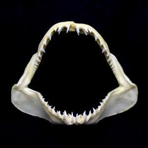 サメの顎(アオザメ)顎骨標本 マコシャーク Shortfin mako shark No.93 kaiyokobo