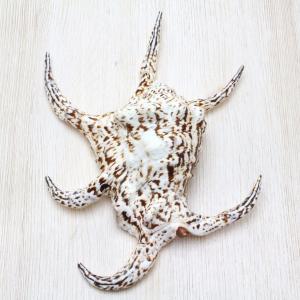 スイジガイL(水字貝) 貝殻 インテリア 約18〜20cm|kaiyokobo