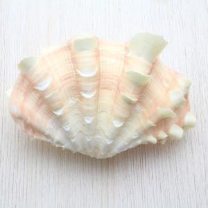 ヒレジャコガイM シャコガイ 貝殻 インテリア コレクション 約10〜12cm|kaiyokobo