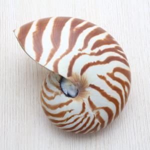 オウムガイS 貝殻 インテリア 工芸品 コレクション 約9〜10cm|kaiyokobo