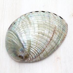 クジャクアワビL 貝殻 インテリア 約14〜15cm|kaiyokobo