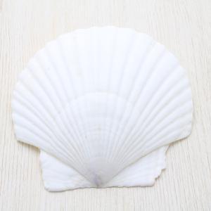 ホタテガイ 貝殻 ブライダル ウェルカムボード フォトフレーム パーツ 約10〜12cm|kaiyokobo