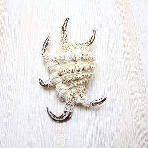 スイジガイSS(水字貝) 貝殻 インテリア 約10〜12cm|kaiyokobo
