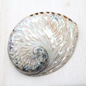 ミダノアワビ(磨) 貝殻 インテリア 約12〜14cm|kaiyokobo