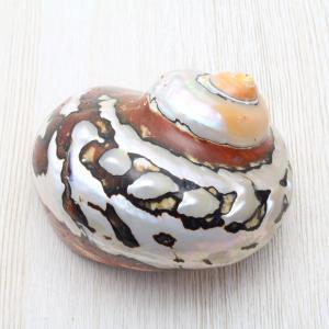リュウオウスガイ(磨) 貝殻 インテリア 約7〜8cm|kaiyokobo
