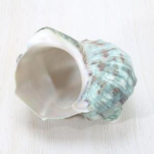 アフリカヤコウガイ 夜光貝 貝殻 インテリア コレクション 約10〜12cm|kaiyokobo