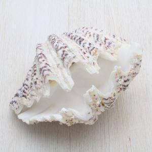 シャゴウガイ(車螯貝) 貝殻 インテリア コレクション 約10〜12cm|kaiyokobo
