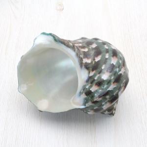 夜光貝S 貝殻 インテリア コレクション 約9〜10cm|kaiyokobo