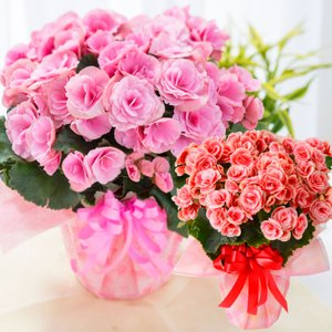 園芸専門店が選ぶ!季節を感じる鉢花ギフト! 花好きな方には、とっても好評です。 鉢植えなので、長く楽...