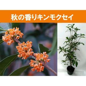 花終わり キンモクセイ苗木7号鉢植え(金木犀)