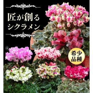 農林水産大臣賞受賞の匠の シクラメン 鉢植え ギフト 選べる7品種 花の お歳暮 クリスマス フラワーギフト