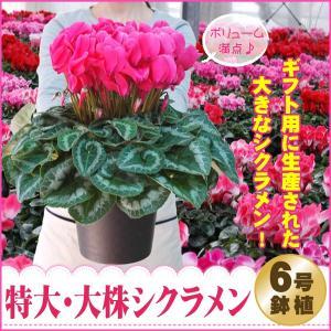 特大&特上株 シクラメン6号鉢(赤・ピンク系)花の お歳暮 クリスマス プレゼント