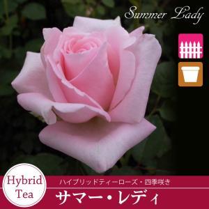 バラ苗 サマーレディ (ピンク系) ハイブリッドティーローズ 【冬剪定済み】