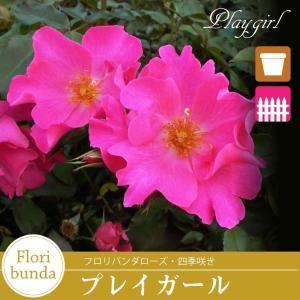 バラ苗 プレイガール (ピンク系)フロリバンダローズ 【冬剪定済み】