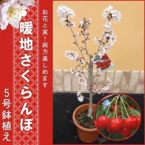 育てやすい!暖地サクランボ鉢植え5号鉢...