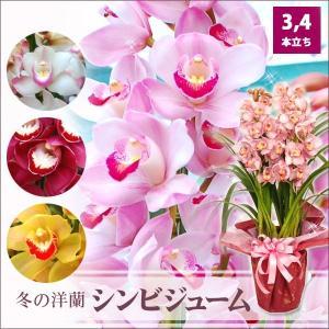 花ギフト シンビジウム シンビジューム鉢植え 3,4本立ち以上 高級洋蘭