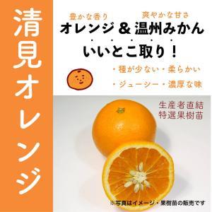 特選果樹苗★オレンジ(清見)|kajoenjp