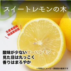 特選果樹苗★スイートレモン