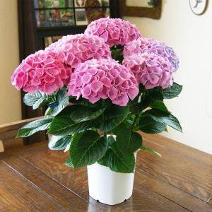 母の日 ギフト花 プレゼン 鉢植え ギフト アジサイ 西安 鉢植え 送料無料 新品種 鉢 新 品種 アナベル 苗 珍しい 紫陽花|kajuaru