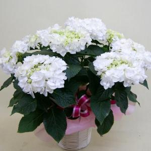 送料無料 白のアジサイ 鉢植え 6寸 カゴ付 ラッピング無料