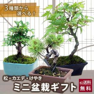 送料無料 丹精込めた小笠原さんのミニ盆栽ギフト 松 カエデ けやき の三種類から選べる