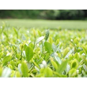 お茶 紅茶 ティーバッグ 和紅茶 べにふうき品種 12個入り2セット 送料無料 国産紅茶 ポイント消化|kakuto|03