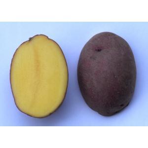 じゃがいも 種芋 インカルージュ(北海98号) 1kg