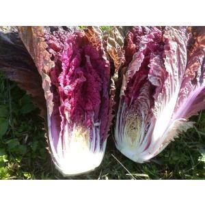 【わけあり】【サイズ不揃い】サラダを彩る【紫白菜】15kg|kamatsukafarm