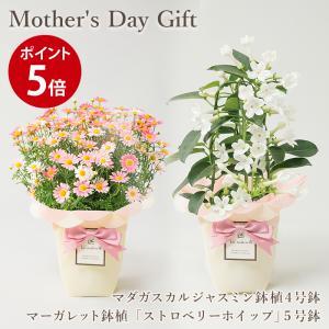 母の日ギフト 2021 送料無料 フラアート花門 つるバラ 鉢植え 「真珠貝」 マダガスカルジャスミン 花鉢 母の日 プレゼント 花 フラワー ギフト フラワーギフト|kamon-hanay