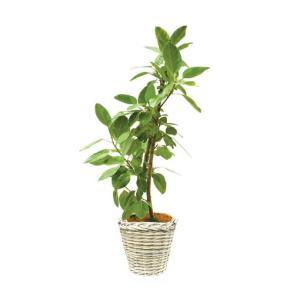 観葉植物 『アルテシマ』|kamon-hanay