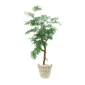 観葉植物 『エバーフレッシュ』|kamon-hanay