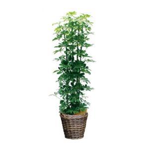 観葉植物 『カポック』|kamon-hanay