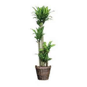 観葉植物 『幸福の木:マッサンゲアナ』|kamon-hanay