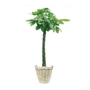 観葉植物 『パキラ』|kamon-hanay