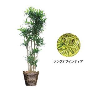 観葉植物 『ソングオブジャマイカ・インディア』|kamon-hanay