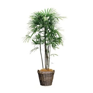 観葉植物 『シュロチク』 kamon-hanay