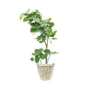 観葉植物 『ウンベラータ』|kamon-hanay
