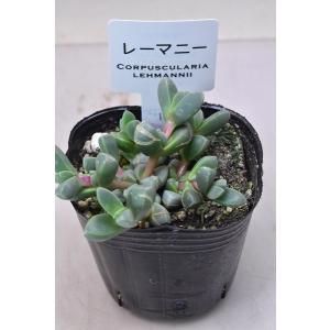 コルプスクラリア レーマニー 3号ポット 多肉植物|kanaiengei