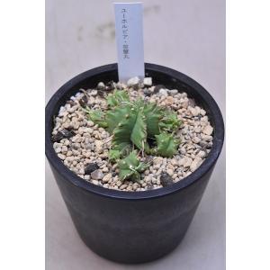 ユーフォルビア 笹蟹丸 3.5号鉢 多肉植物 観葉植物|kanaiengei