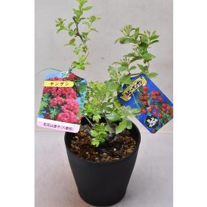 ルビーサンザシと紅花サンザシの2品種 接木苗 5号鉢|kanaiengei