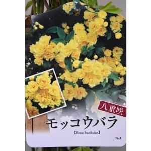 八重咲 黄モッコウバラ 苗木 6号ポット 花木|kanaiengei