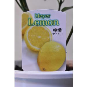 マイヤーレモン 苗木 4号ポット 果樹 柑橘類|kanaiengei