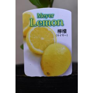 サイパンレモン  苗木 5号ポット 果樹 柑橘類|kanaiengei